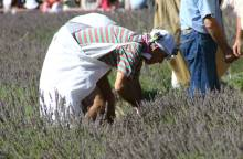 Lavender Celebration