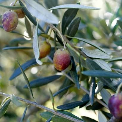 Olive mill itinerary - Le Clos des Jeannons Mill in Gordes