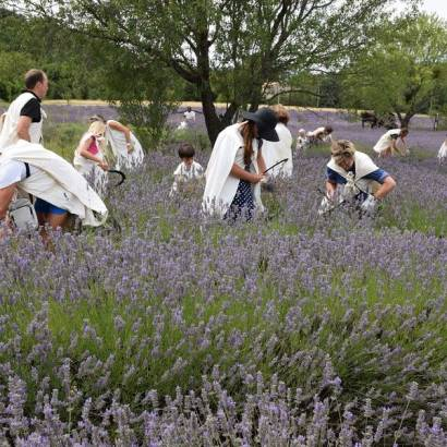 Lavender outing - be the shoes of a lavender farmer !